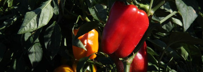 Red and orange bell peppers.